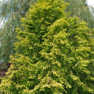 Metasequoia Gylptostroboides Gold Rush