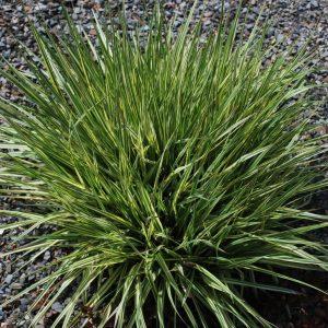 Molinia Caerulea Subsp Caerulea Variegata