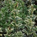 Osmanthus Hetrophyllus Variegatus