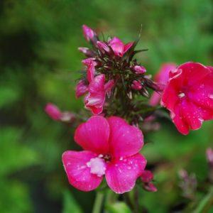 Phlox Paniculata Grenadine Dream