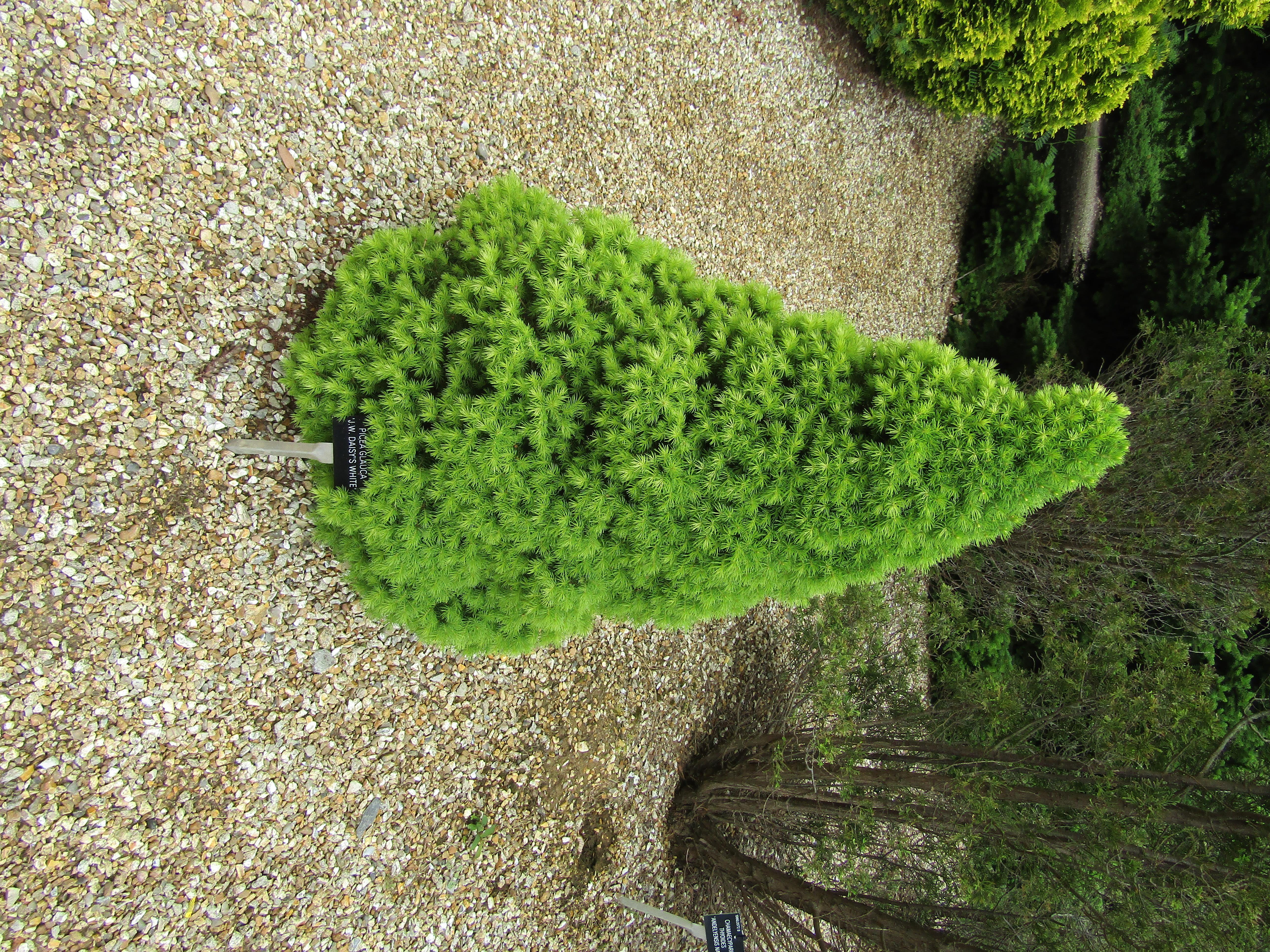 Picea 'Daisys White'