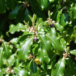 Pittosporum Abbotsbury Gold