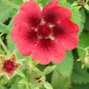Potentilla Monarch Velvet