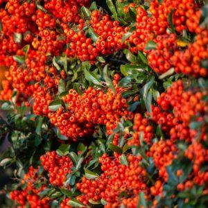 Pyracantha Saphyr Red