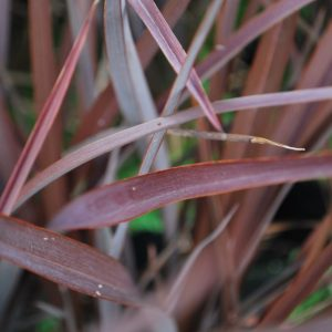 Phormium Red Sensation