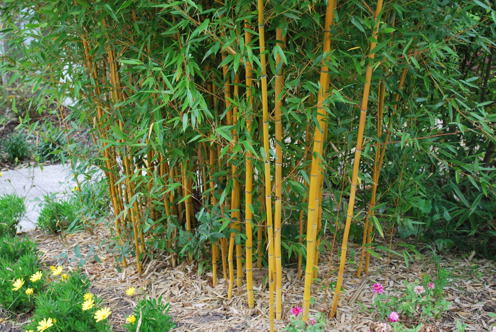 phyllostachys vivax f aureocaulis let 39 s go planting. Black Bedroom Furniture Sets. Home Design Ideas