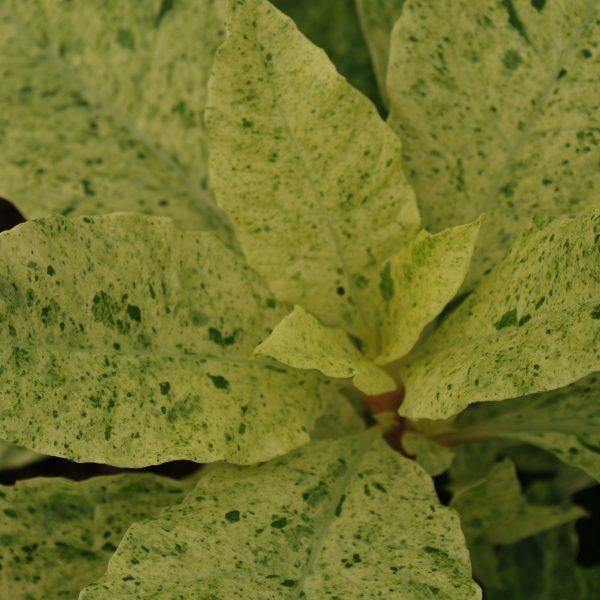 Phytolacca Americana Variegata