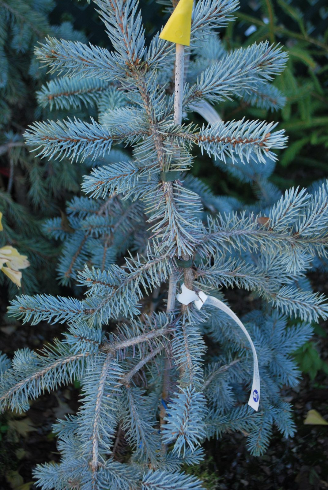 Picea Koster