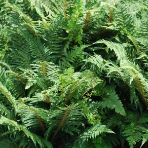 Polystichum Set. Proliferum Wollastonii
