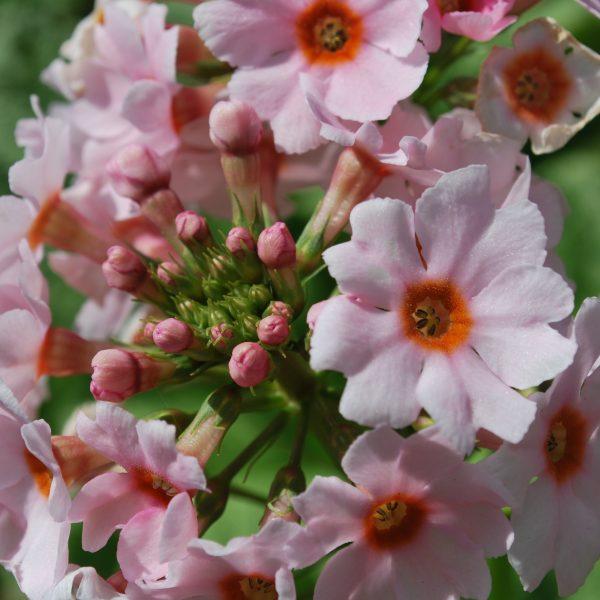 Primula Apple Blossom