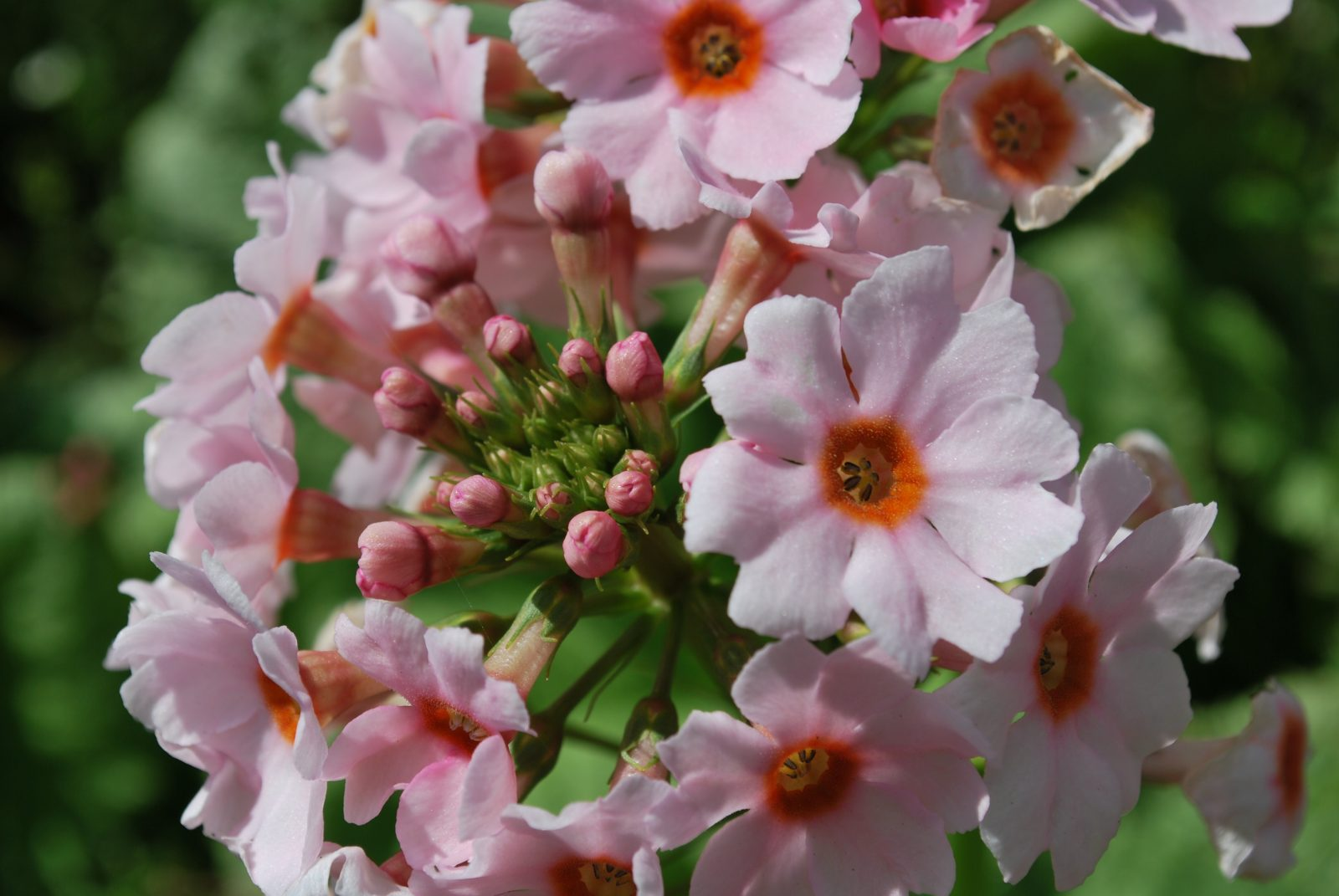 Primula Apple Blossom