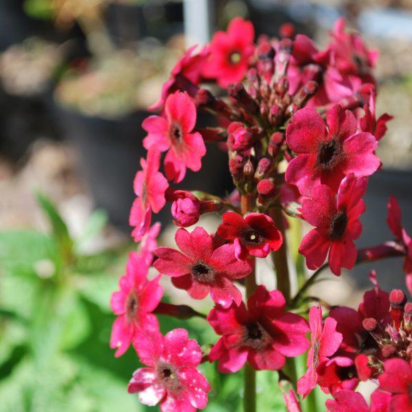 Primula Millers Crimson