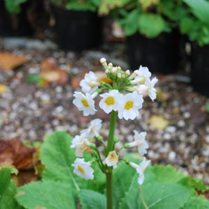 Primula Postford White
