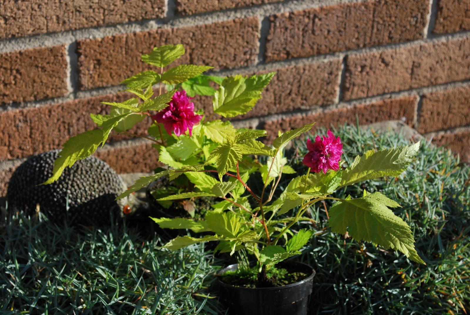 Rubus Spectabilis Olympic Gold