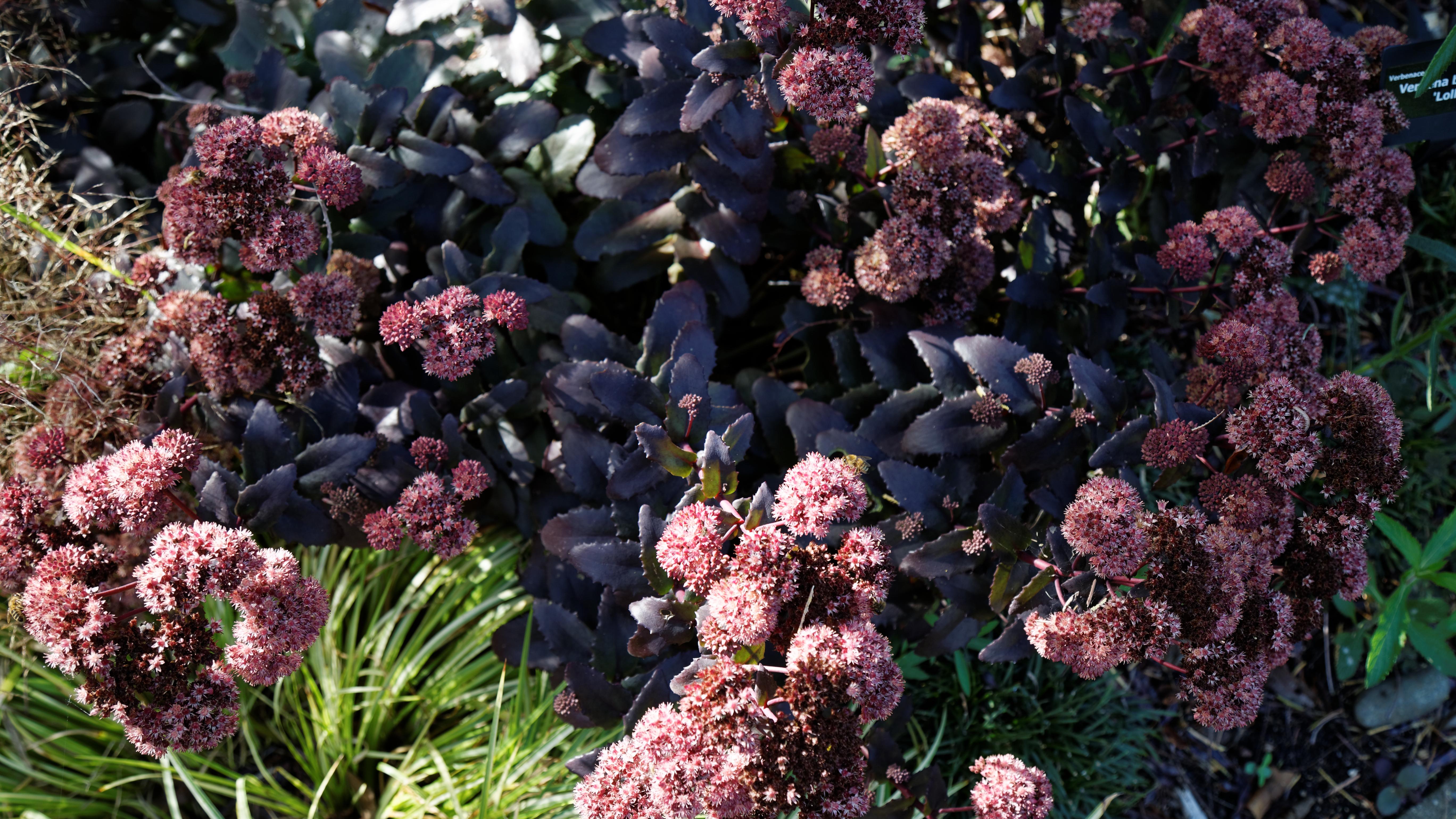 Sedum Telephium Purple Emperor