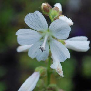 Sidalcea Candida