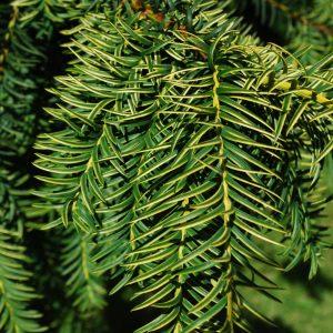 Taxus Dovastonii Aurea