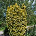 Taxus Standshii