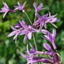 Tulbaghia Violacea 'Silver Lace'