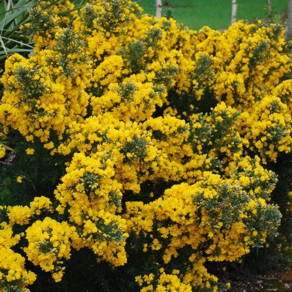 Ulex Europaeus Flore Plena