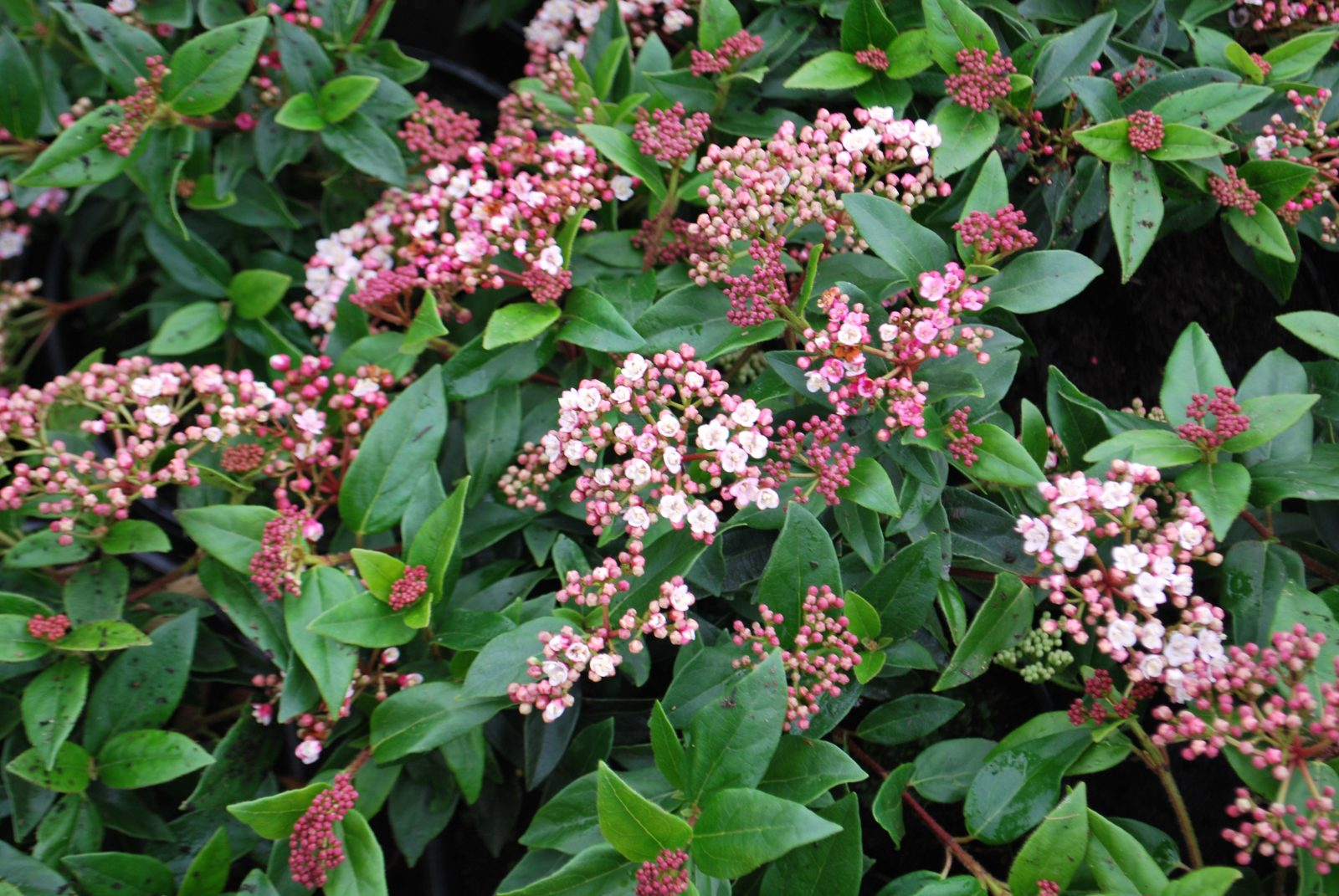 viburnum tinus 39 eve price 39 let 39 s go planting. Black Bedroom Furniture Sets. Home Design Ideas
