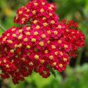 Achillea Fanal (Red Beauty)