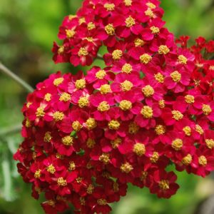 Achillea Fanal (Red Beauty)