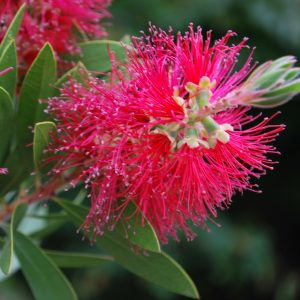 Callistemon Red Clusters
