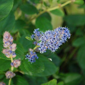 Ceanothus Trewithen Blue