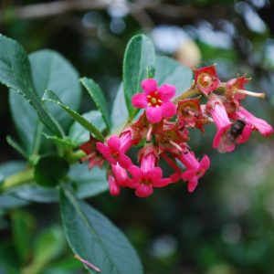 Escallonia Macrantha