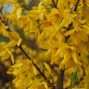 Forsythia X Intermedia Lynwood Variety
