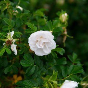Rosa Rugosa Blanc Double De Coubert