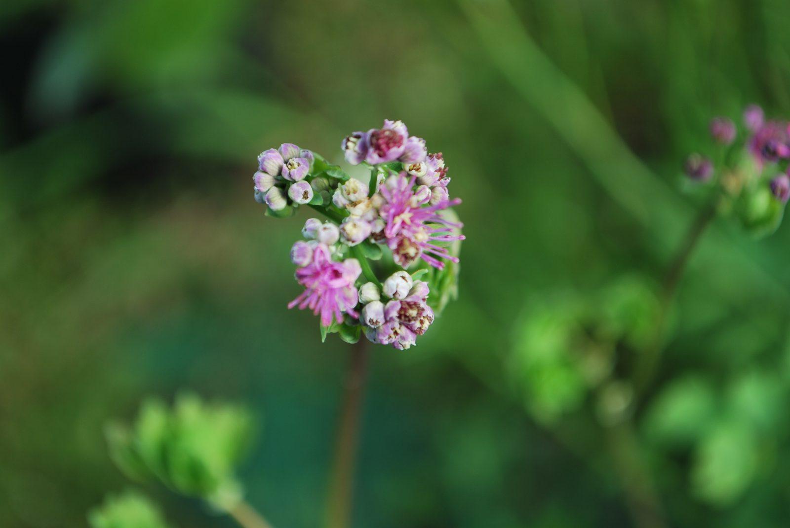 Thalictrum Aquilegiifolium Thundercloud